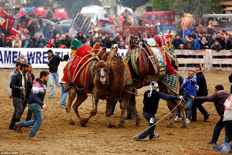 جنگ شترها در فستیوال سالانه ترکیه (تصاویر)