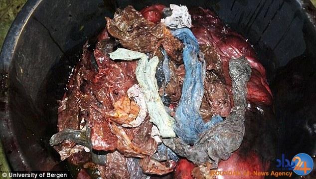 کشته شدن یک وال به دلیل خوردن 30 کیسه پلاستیکی (تصاویر)