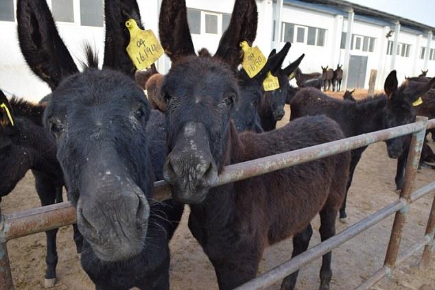 نابودی سالانه 4میلیون الاغ در چین برای تولید اکسیر جوانی (فیلم و تصاویر)