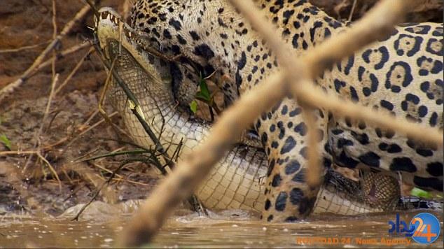 لحظه شوکآور شکار تمساح سه متری توسط یک پلنگ (فیلم و تصاویر)