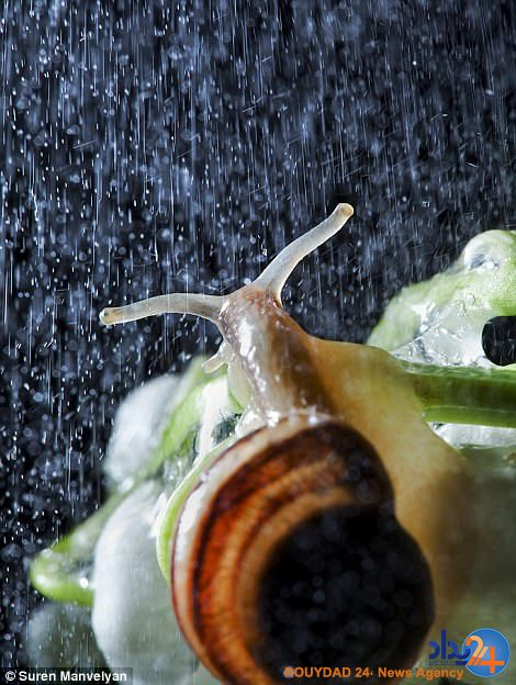 تصاویر بسته از حلزون هایی که در باران زیبا می شوند