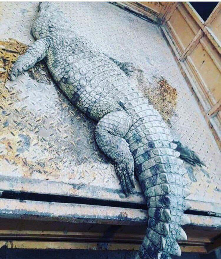 کشف تمساح ۲ متری از اروند رود +عکس